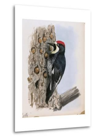 A Painting of a California Woodpecker Clinging to a Tree Trunk-Louis Agassi Fuertes-Metal Print