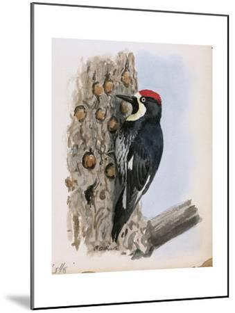 A Painting of a California Woodpecker Clinging to a Tree Trunk-Louis Agassi Fuertes-Mounted Giclee Print
