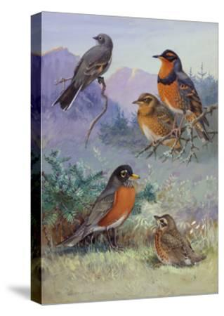 A Painting of Several Species of Robin-Allan Brooks-Stretched Canvas Print