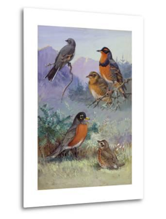 A Painting of Several Species of Robin-Allan Brooks-Metal Print