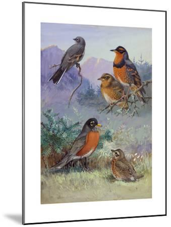 A Painting of Several Species of Robin-Allan Brooks-Mounted Giclee Print