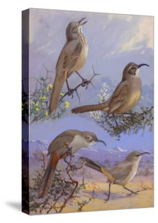 A Painting of Four Different Species of Thrasher-Allan Brooks-Stretched Canvas Print