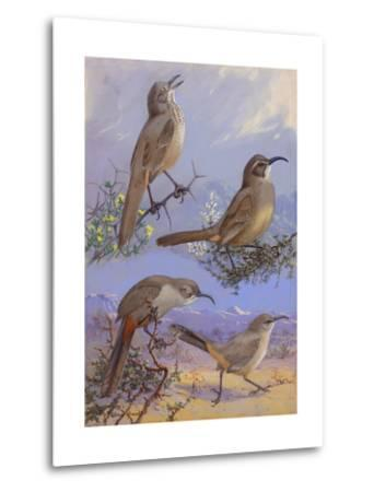 A Painting of Four Different Species of Thrasher-Allan Brooks-Metal Print