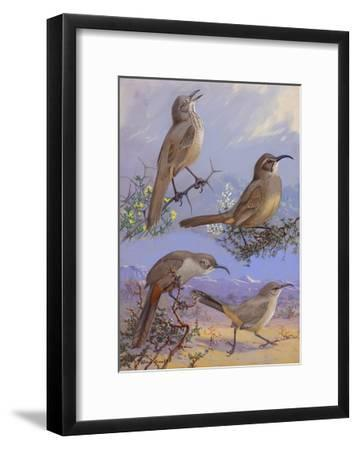 A Painting of Four Different Species of Thrasher-Allan Brooks-Framed Giclee Print