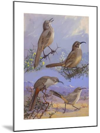 A Painting of Four Different Species of Thrasher-Allan Brooks-Mounted Giclee Print