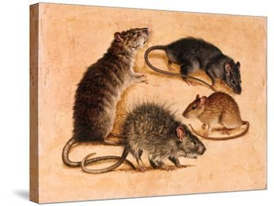A Painting of Four Rat Species-William H. Bond-Stretched Canvas Print