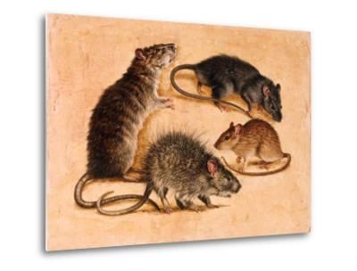 A Painting of Four Rat Species-William H. Bond-Metal Print