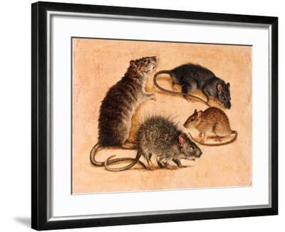 A Painting of Four Rat Species-William H. Bond-Framed Giclee Print