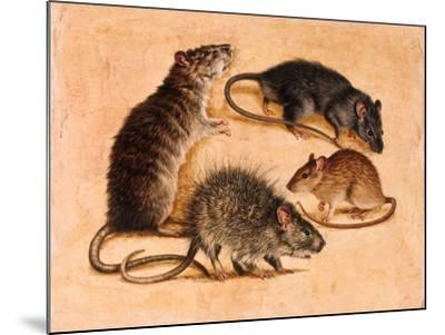 A Painting of Four Rat Species-William H. Bond-Mounted Giclee Print