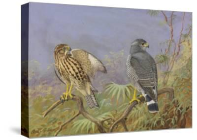 A Painting of Adult and Immature Grey Hawks-Allan Brooks-Stretched Canvas Print