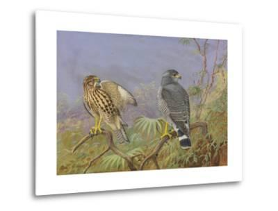A Painting of Adult and Immature Grey Hawks-Allan Brooks-Metal Print