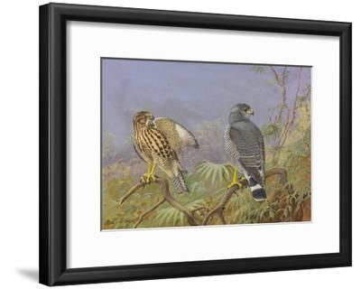 A Painting of Adult and Immature Grey Hawks-Allan Brooks-Framed Giclee Print
