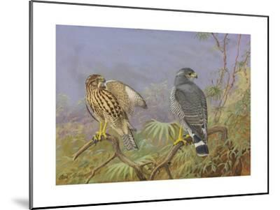 A Painting of Adult and Immature Grey Hawks-Allan Brooks-Mounted Giclee Print