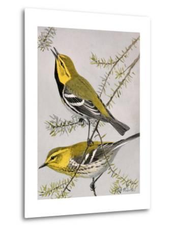 A Painting of a Pair of Black-Throated Green Warblers-Louis Agassi Fuertes-Metal Print