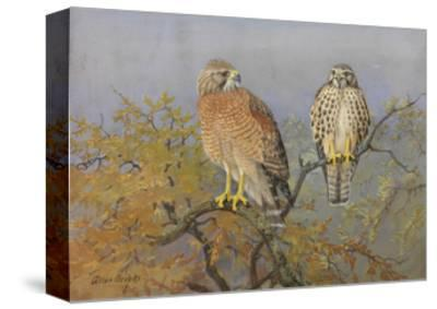 A Painting of an Adult and an Immature Red-Shouldered Hawk-Allan Brooks-Stretched Canvas Print