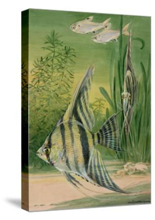 The Pristella Fish and Angelfish Swim Together in an Aquarium-Hashime Murayama-Stretched Canvas Print