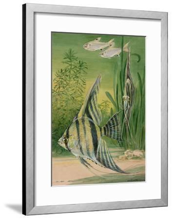The Pristella Fish and Angelfish Swim Together in an Aquarium-Hashime Murayama-Framed Giclee Print