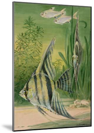 The Pristella Fish and Angelfish Swim Together in an Aquarium-Hashime Murayama-Mounted Giclee Print