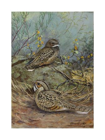 A Painting of a Nuttall's Poorwill and a Merrill's Pauraque-Allan Brooks-Framed Giclee Print
