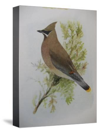 A Painting of a Cedar Waxwing Perched on a Tree Branch-Louis Agassi Fuertes-Stretched Canvas Print