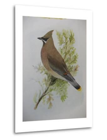 A Painting of a Cedar Waxwing Perched on a Tree Branch-Louis Agassi Fuertes-Metal Print