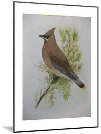 A Painting of a Cedar Waxwing Perched on a Tree Branch-Louis Agassi Fuertes-Mounted Giclee Print