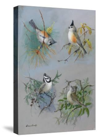 A Painting of Several Species of Titmouse-Allan Brooks-Stretched Canvas Print