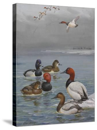 A Painting of Canvasback, Redhead, and Ring-Necked Ducks-Allan Brooks-Stretched Canvas Print