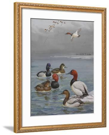 A Painting of Canvasback, Redhead, and Ring-Necked Ducks-Allan Brooks-Framed Giclee Print