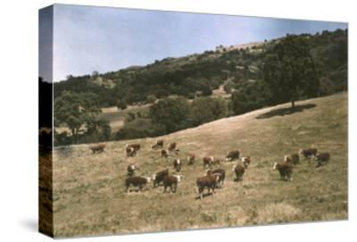 In a Pasture Near Pleasanton Hereford Cattle Graze-Charles Martin-Stretched Canvas Print