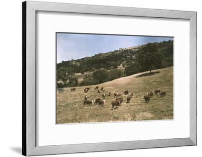 In a Pasture Near Pleasanton Hereford Cattle Graze-Charles Martin-Framed Photographic Print