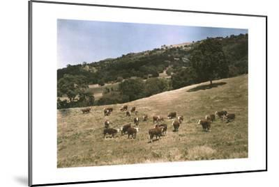 In a Pasture Near Pleasanton Hereford Cattle Graze-Charles Martin-Mounted Photographic Print