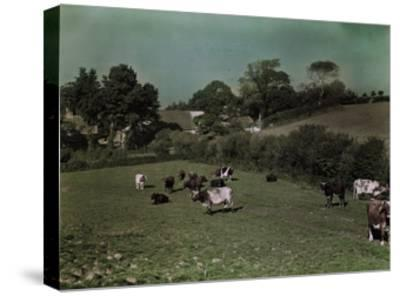 Cows Graze in the Pastures of Rural Farm Homes-W^ Robert Moore-Stretched Canvas Print