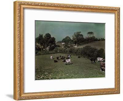 Cows Graze in the Pastures of Rural Farm Homes-W^ Robert Moore-Framed Photographic Print