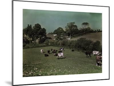 Cows Graze in the Pastures of Rural Farm Homes-W^ Robert Moore-Mounted Photographic Print