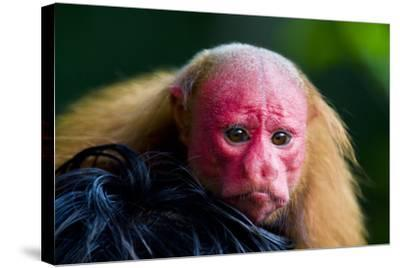 The Bright Red Face of a Bald Uakari Resting on the Head of an Amazonian Indian-Jason Edwards-Stretched Canvas Print