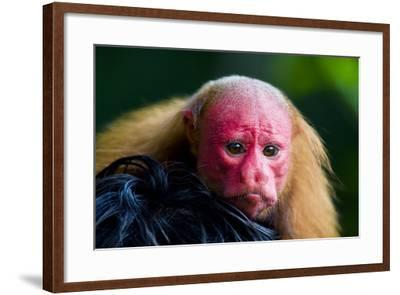 The Bright Red Face of a Bald Uakari Resting on the Head of an Amazonian Indian-Jason Edwards-Framed Photographic Print
