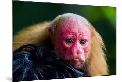 The Bright Red Face of a Bald Uakari Resting on the Head of an Amazonian Indian-Jason Edwards-Mounted Photographic Print
