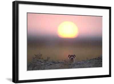 A Black-Footed Ferret, Mustela Nigripes, Peering from its Burrow at Sunset-Michael Forsberg-Framed Photographic Print