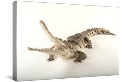 An Australian Freshwater Crocodile, Crocodylus Johnsoni, at the Omaha Henry Doorly Zoo-Joel Sartore-Stretched Canvas Print