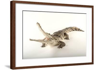 An Australian Freshwater Crocodile, Crocodylus Johnsoni, at the Omaha Henry Doorly Zoo-Joel Sartore-Framed Photographic Print