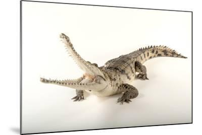 An Australian Freshwater Crocodile, Crocodylus Johnsoni, at the Omaha Henry Doorly Zoo-Joel Sartore-Mounted Photographic Print