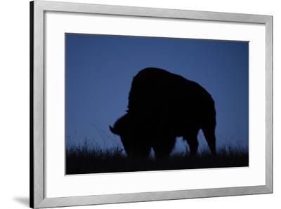 A Silhouetted American Bison, Bison Bison, Grazing at Twilight-Michael Forsberg-Framed Photographic Print