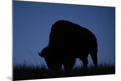 A Silhouetted American Bison, Bison Bison, Grazing at Twilight-Michael Forsberg-Mounted Photographic Print