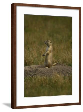 A Black-Tailed Prairie Dog, Cynomys Ludovicianus, at the Entrance to its Burrow-Michael Forsberg-Framed Photographic Print