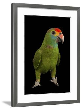 An Endangered Red-Browed Amazon Parrot at the Rare Species Conservatory Foundation-Joel Sartore-Framed Photographic Print