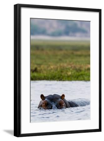 An Alert and Aggressive Nile Hippopotamus Surfaces When a Boat Approaches Too Closely-Jason Edwards-Framed Photographic Print