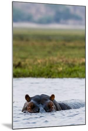 An Alert and Aggressive Nile Hippopotamus Surfaces When a Boat Approaches Too Closely-Jason Edwards-Mounted Photographic Print