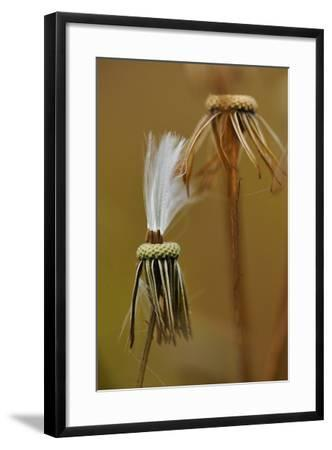 Close Up of the Spent Seed Pods of a Prickly Lettuce Plant-Michael Forsberg-Framed Photographic Print