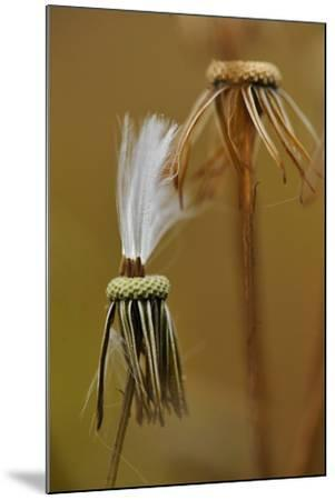 Close Up of the Spent Seed Pods of a Prickly Lettuce Plant-Michael Forsberg-Mounted Photographic Print